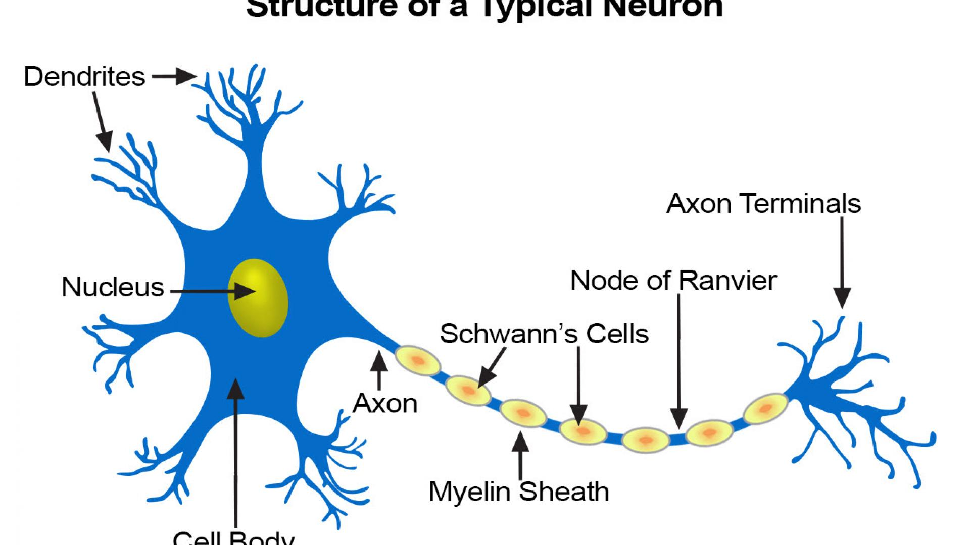 Structure of a typical neuron